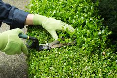 trimming hedges with manual shears - stock photo