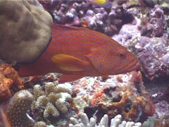 Coral cod hovering, Cephalopholis miniata, UP4174 Stock Footage