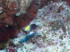 Fish   Damselfish   Undescribed Species   Medium Shot Stock Footage