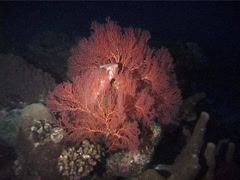 Coral cod hovering at dusk, Cephalopholis miniata, UP4189 Stock Footage