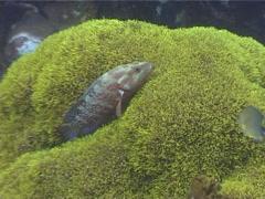 Coral cod swimming, Cephalopholis miniata, UP4190 Stock Footage