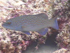 Coral trout swimming, Plectropomus leopardus, UP4191 Stock Footage