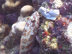 Flagtail grouper, Cephalopholis urodeta, UP4202 Stock Footage