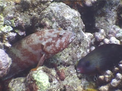 Flagtail grouper, Cephalopholis urodeta, UP4203 Stock Footage