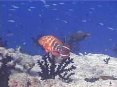 Flagtail grouper fighting, Cephalopholis urodeta, UP4204 Stock Footage