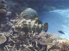 Flowery cod swimming on shallow coral reef, Epinephelus fuscoguttatus, UP4209 Stock Footage