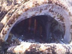 Flowery cod, Epinephelus fuscoguttatus, UP4215 Stock Footage