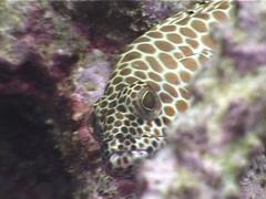 Honeycomb grouper, Epinephelus merra, UP4224 Stock Footage