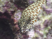 Stock Video Footage of Fish | Groupers | Honeycomb Grouper | Close Up