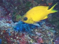 Fish | Damselfish | Yellow Chromis | Medium Shot Stock Footage