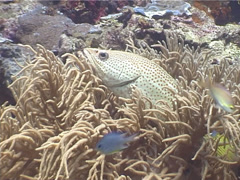 White-lined rockcod hunting, Anyperodon leucogrammicus, UP4249 Stock Footage