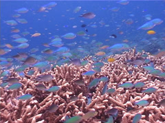 Ambon chromis feeding and schooling on shallow coral reef, Chromis amboinensis, Stock Footage