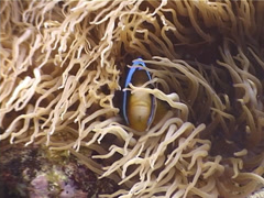 Barrier Reef Anemonefish swimming, Amphiprion akindynos, UP4263 Stock Footage
