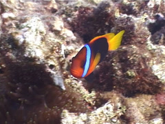 Red-and-Black anemonefish swimming, Amphiprion melanopus, UP4275 Stock Footage