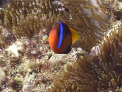 Red-and-Black anemonefish swimming, Amphiprion melanopus, UP4281 Stock Footage