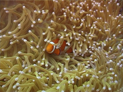 Clownfish swimming, Amphiprion percula, UP4314 Stock Footage