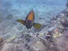 Lagoon damsel attacking camera, Hemiglyphidodon plagiometopon, UP4317 Stock Footage