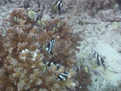 Humbug feeding and schooling, Dascyllus aruanus, UP4331 Stock Footage