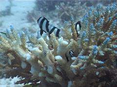 Humbug feeding and schooling, Dascyllus aruanus, UP4334 Stock Footage