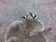 Panda clownfish swimming, Amphiprion polymnus, UP4349 Stock Footage