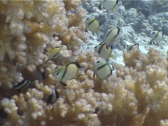 Reticulated damsel feeding and schooling, Dascyllus reticulatus, UP4369 Stock Footage