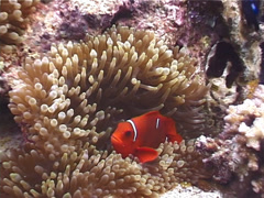 Spine-cheek Anemonefish, Premnas biaculeatus, UP4393 Stock Footage