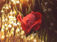 Spine-cheek Anemonefish hovering, Premnas biaculeatus, UP4398 Stock Footage