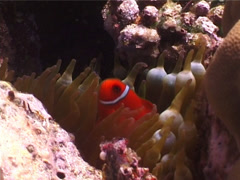 Spine-cheek Anemonefish hovering, Premnas biaculeatus, UP4399 Stock Footage