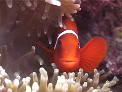 Stock Video Footage of Fish | Damselfish | Spine-cheek Anemonefish | Symbiotic Relationship | Close Up