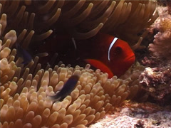 Spine-cheek Anemonefish, Premnas biaculeatus, UP4403 Stock Footage