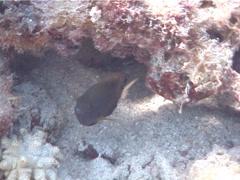 Whitetail damsel swimming, Pomacentrus chrysurus, UP4414 Stock Footage