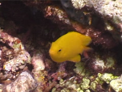 Yellow damsel swimming, Pomacentrus moluccensis, UP4417 Stock Footage
