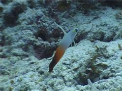 Fire dartfish hovering, Nemateleotris magnifica, UP4421 Stock Footage