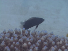 Brown dottyback swimming, Pseudochromis fuscus, UP4439 Stock Footage