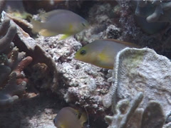 Brown dottyback hovering, Pseudochromis fuscus, UP4440 Stock Footage