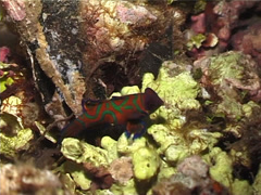 Mandarinfish swimming at dusk, Synchiropus splendidus, UP4447 Stock Footage