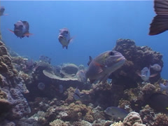 Big eye bream swimming and schooling, Monotaxis grandoculis, UP4454 Stock Footage