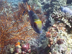 Redfin emperor swimming, Monotaxis heterodon, UP4455 Stock Footage