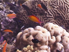Redfin anthias swimming and schooling, Pseudanthias dispar, UP4473 Stock Footage