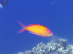 Redfin anthias swimming, Pseudanthias dispar, UP4474 Stock Footage