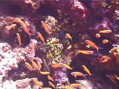 Redfin anthias swimming and schooling, Pseudanthias dispar, UP4477 Stock Footage