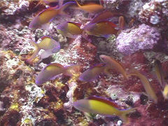 Redfin anthias swimming and schooling, Pseudanthias dispar, UP4478 Stock Footage