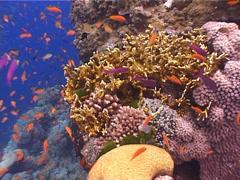 Scalefin anthias on shallow wall, Pseudanthias squamipinnis, UP4480 Stock Footage