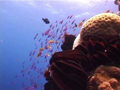 Scalefin anthias, Pseudanthias squamipinnis, UP4481 Stock Footage