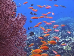Scalefin anthias swimming and schooling, Pseudanthias squamipinnis, UP4486 - stock footage