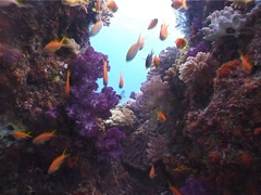 Scalefin anthias swimming and schooling, Pseudanthias squamipinnis, UP4487 Stock Footage