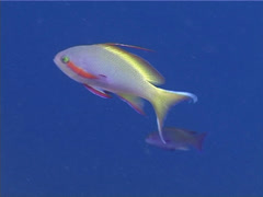 Threadfin anthias feeding, Pseudanthias huchti, UP4498 Stock Footage