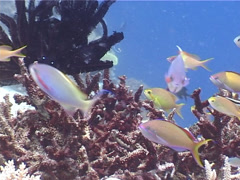 Threadfin anthias swimming, Pseudanthias huchti, UP4499 Stock Footage