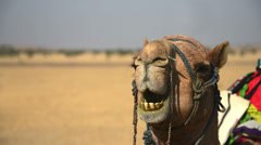 Dromedary chewing Stock Footage