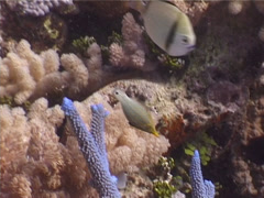 Beaked leatherjacket feeding, Oxymonacanthus longirostris, UP4513 Stock Footage